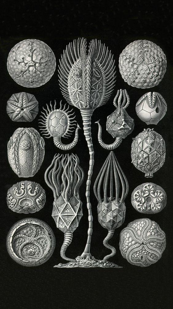 Cystodiea (Plate 90)