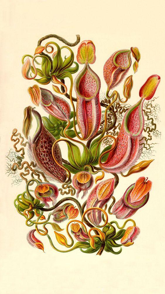 Nepanthaceae (Plate 62)