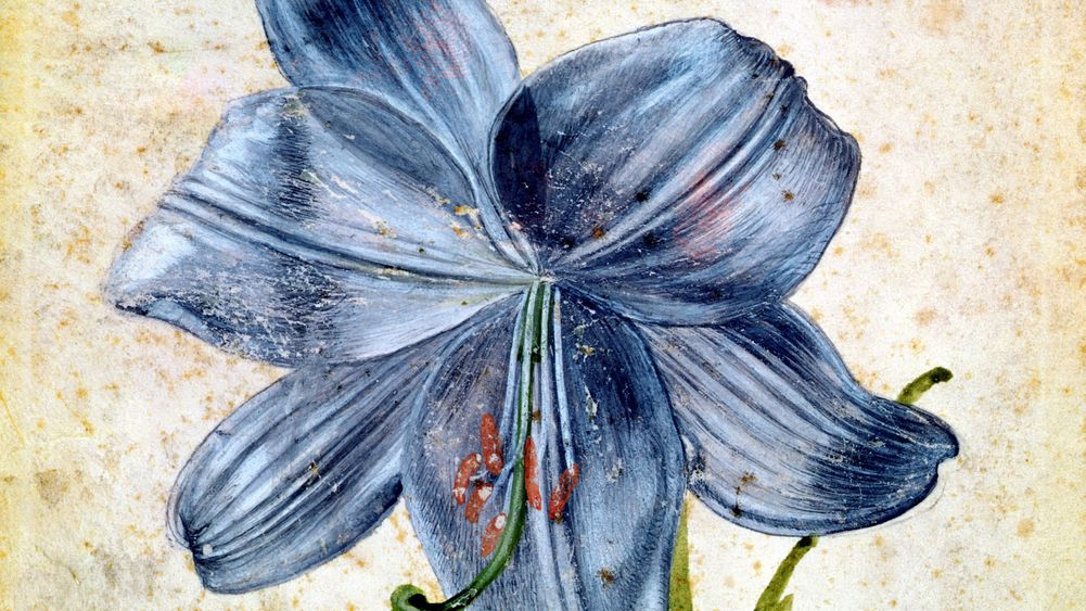Study of a Lily