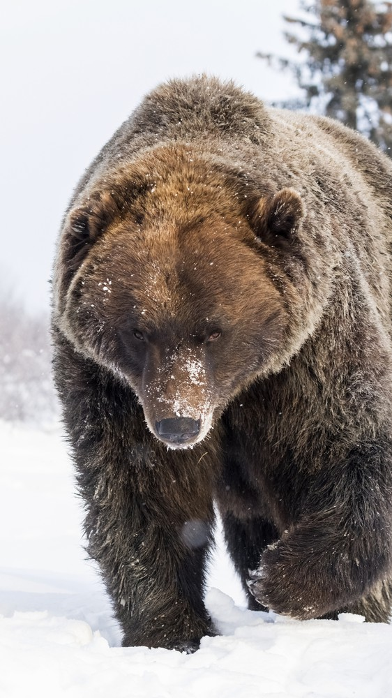 Brown Bear in Portage, Alaska