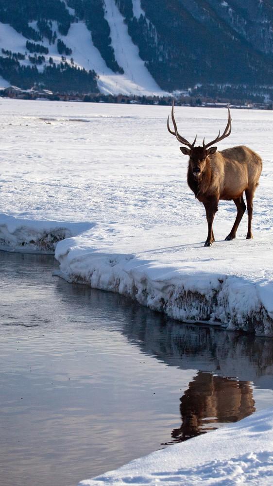 Elk in Jackson Hole Valley, Wyoming