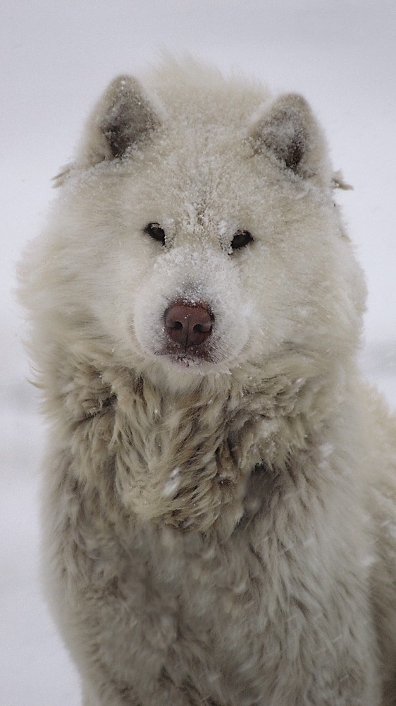 Eskimo Dog in Hudson Bay, Canada