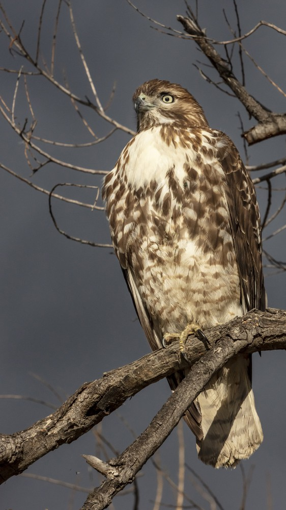 A Hawk in Riverside County, California