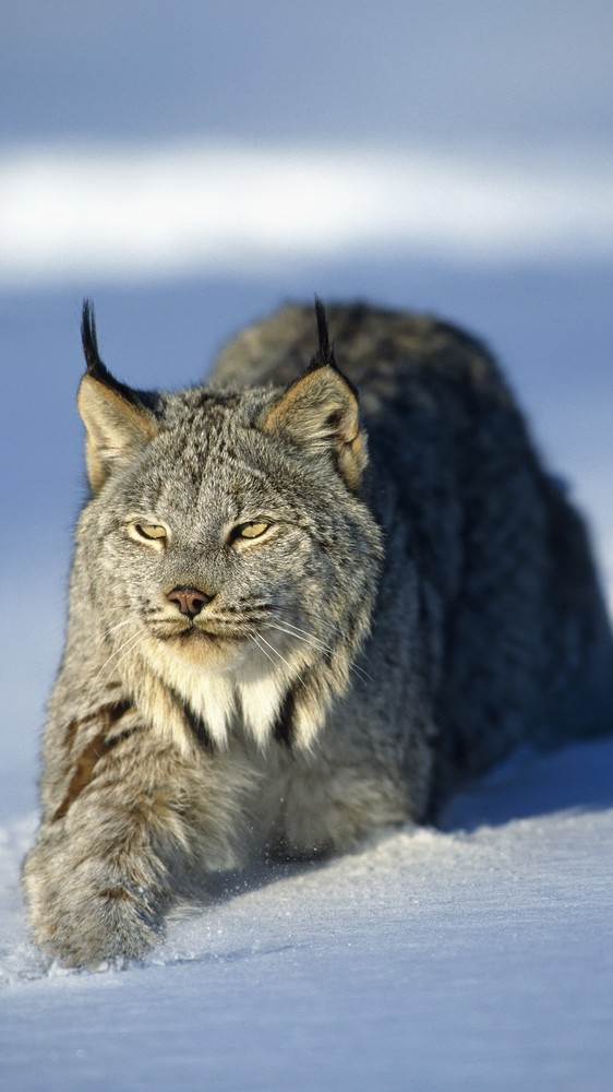 Lynx in Minnesota