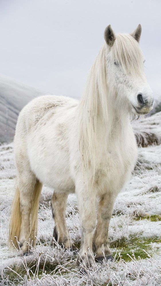 White Fell Pony in Cumbria, England