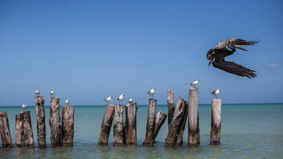 Pelican, Holbox