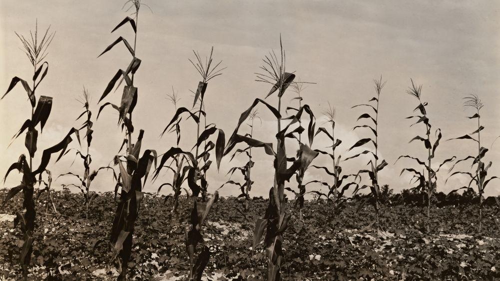 Cotton and Corn, Hale County, Alabama