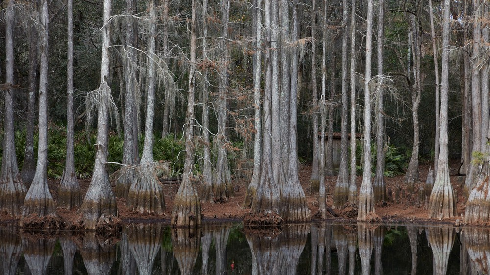 Large Cypress swamp at the Tallahassee, Florida Museum