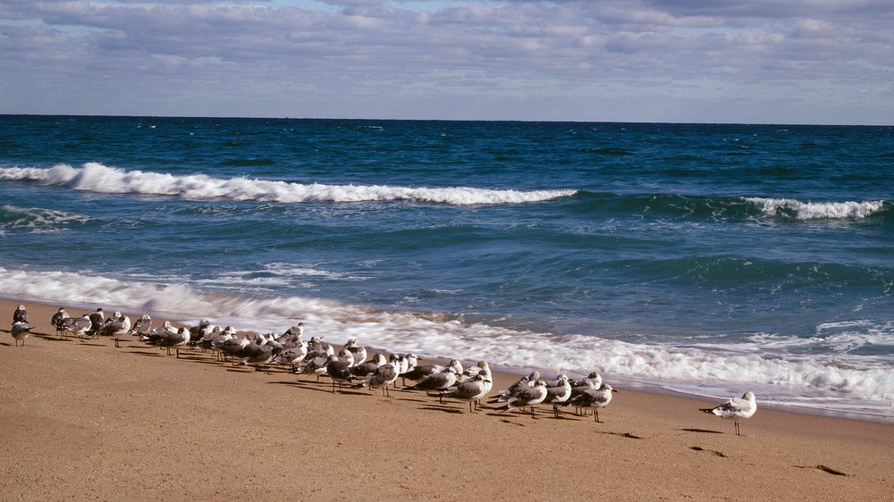 Seagulls at the Atlantic Ocean in Florida