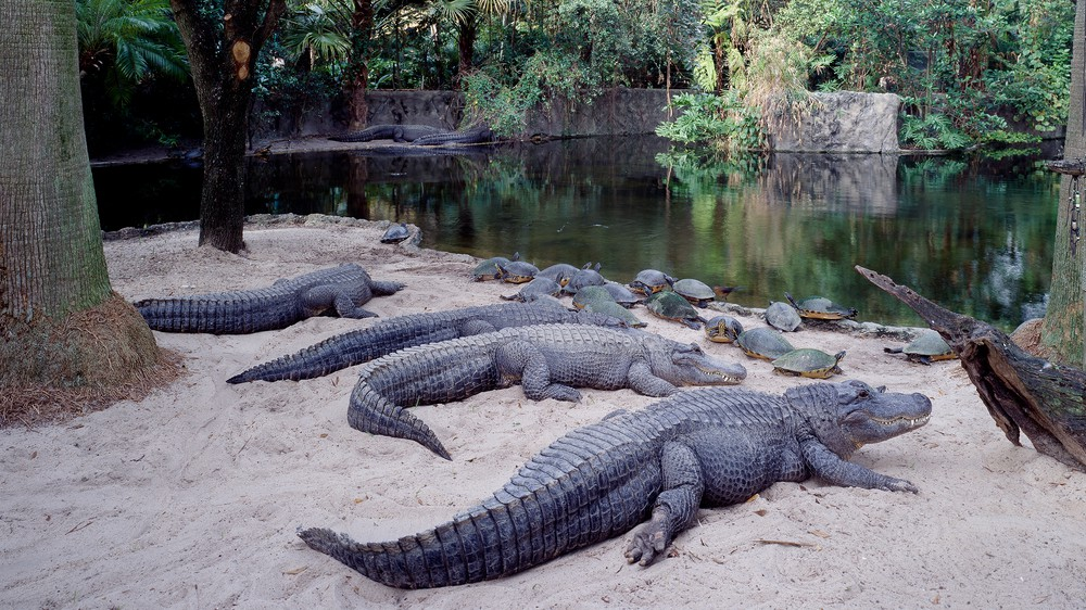 Alligators at Busch Garden in Tampa Bay, Florida
