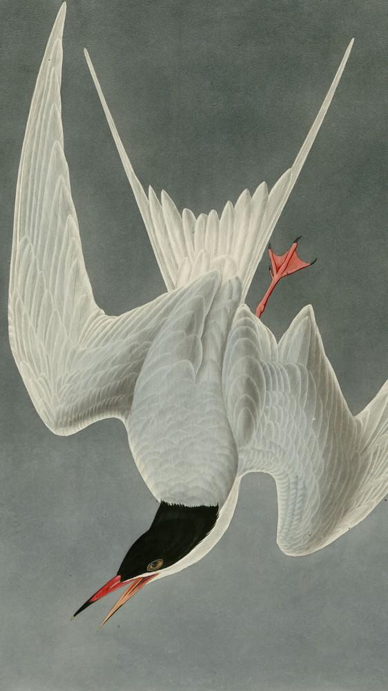 Great Tern