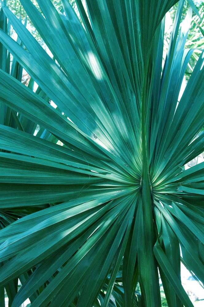 Tropical Fan Palm Finesse
