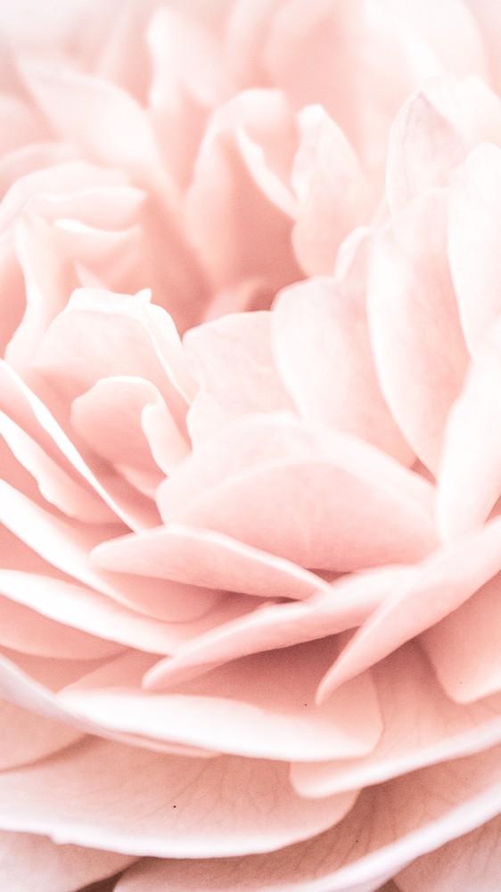 Pink Rose Petals II
