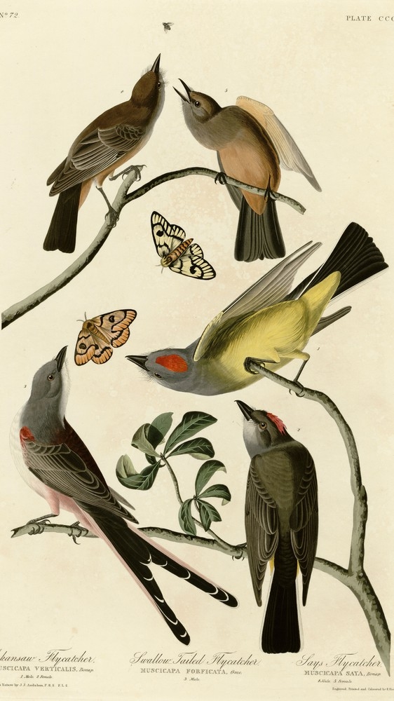 Arkansaw Flycatcher and Other Birds