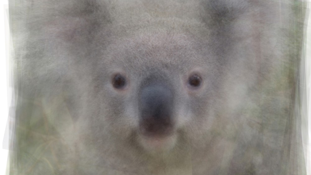 Koala Portrait Overlay