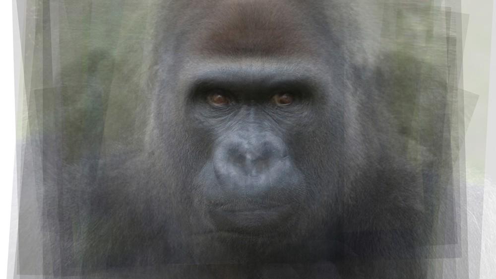 Gorilla Portrait Overlay