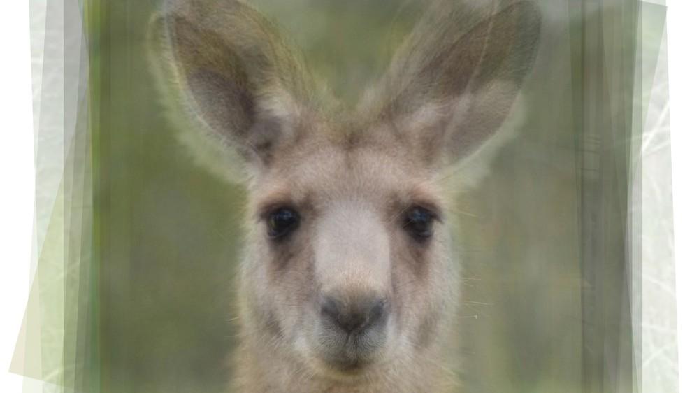 Kangaroo Portrait Overlay