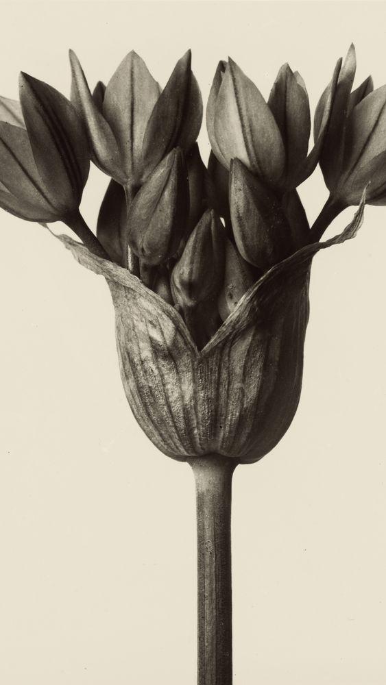 Allium Ostrowskianum, Knoblauchpflanze