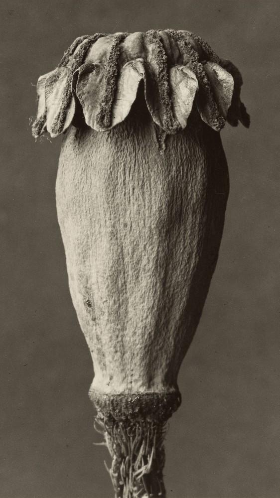 Papaver Orientalis