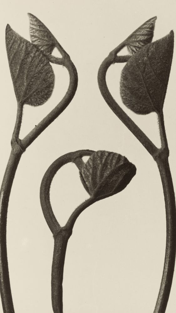 Aristolochia Stems and Leaves