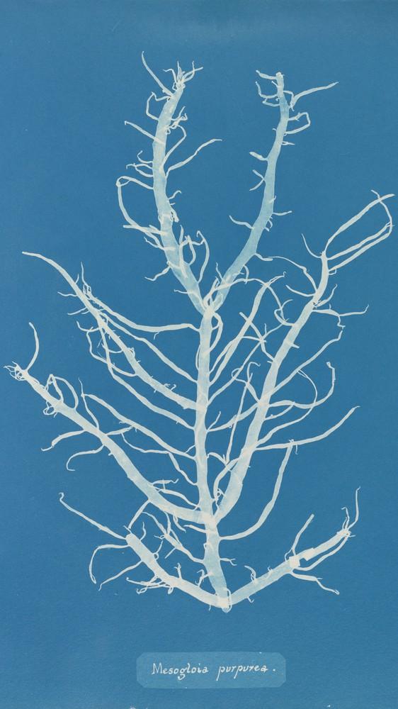 Mesogloia Purpurea