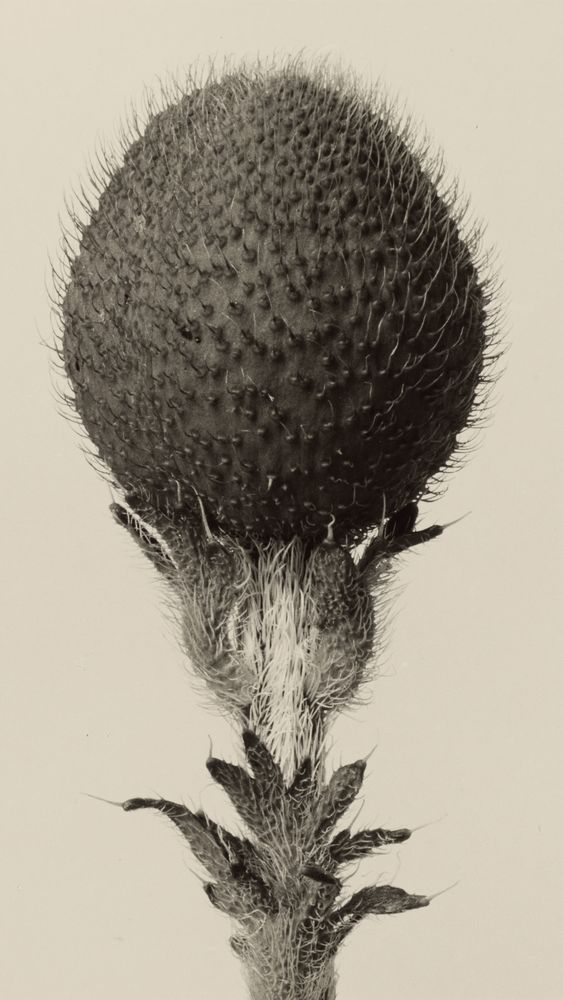 Thorned Bulbous Plant